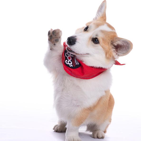 therapy dog corgi.jpg