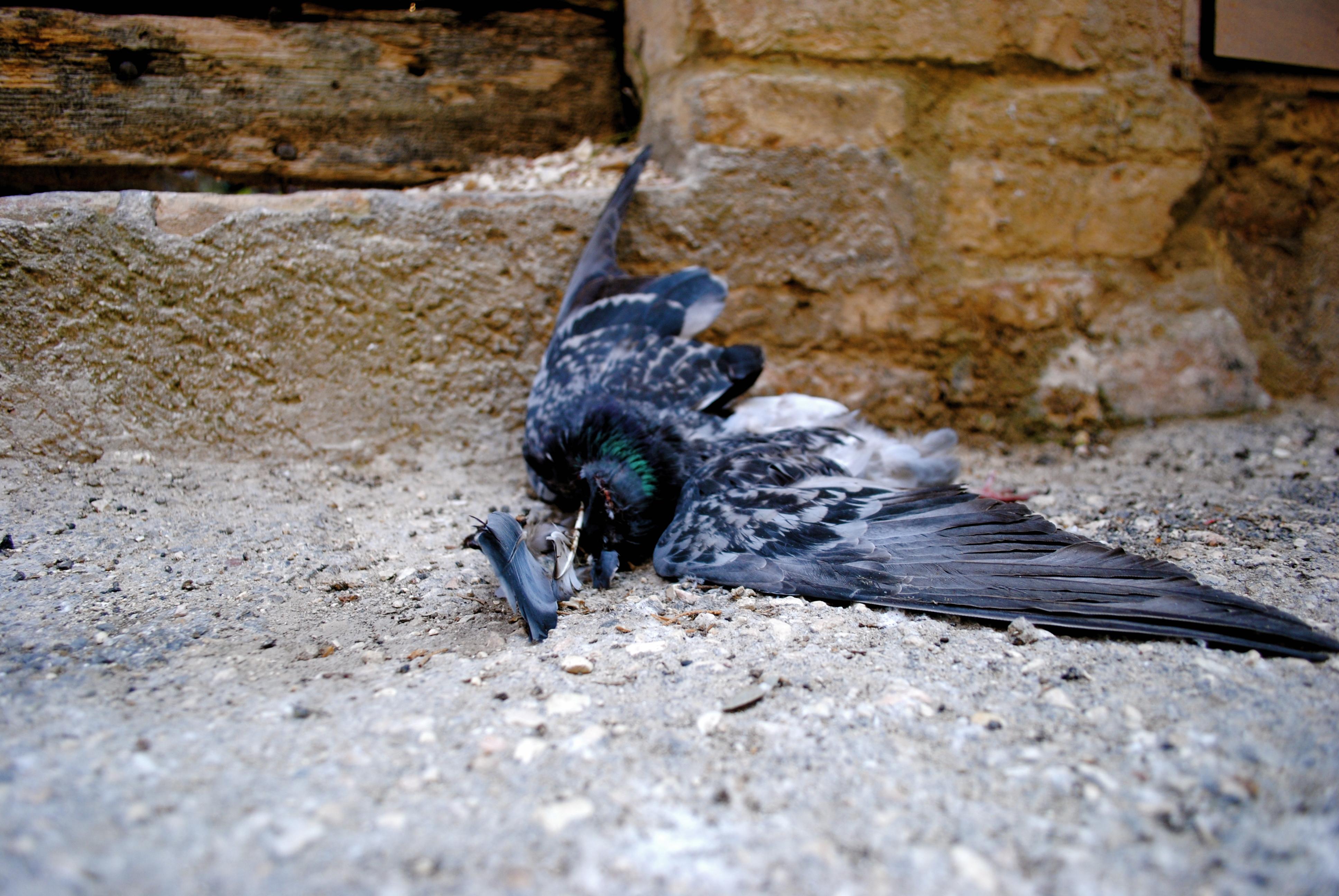 Pigeon, 2012.
