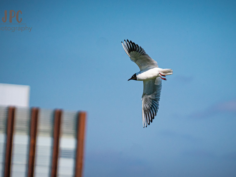 Back-headed Gull