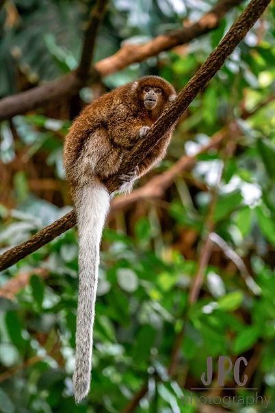 Titi Monkey.jpg