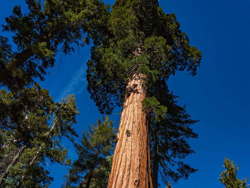 Sequoia in Yosemite