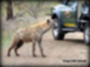 Hyena on Safari Kruger National Park