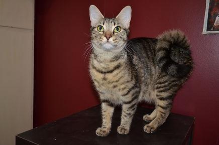Mary Valley Ringtail Cat Australia, Mary Valley Cattery