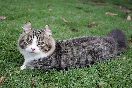 Mary Valley Kinkalow Cat Australia, Mary Valley Cattery