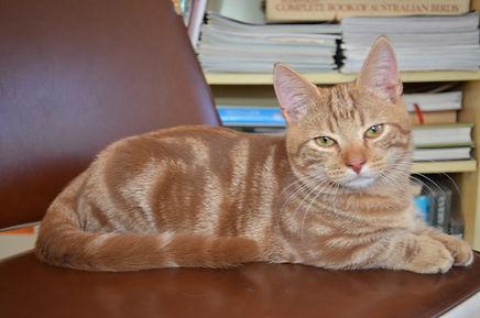 Mary Valley Munchkin Cat Australia, Mary Valley Cattery