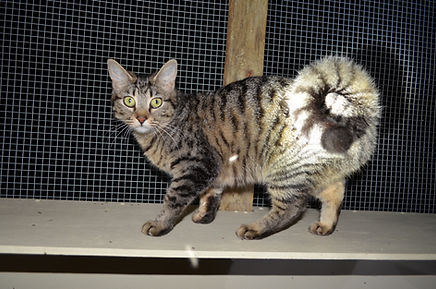 Mary Valley Ringtail Cat Australia, Mary Valley Cattery