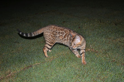 Mary Valley Bengal Cat Australia, Mary Valley Cattery