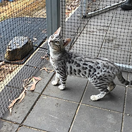 Mary Valley Genetta Cat Australia, Mary Valley Cattery