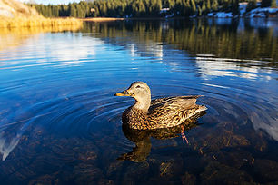 duck-PTU7H2J.jpg