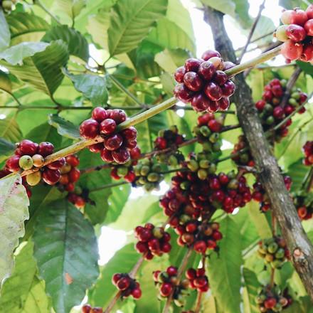 [UNIQUELY 96B] Coffea Liberica - Rare, Underrated, and Delicious