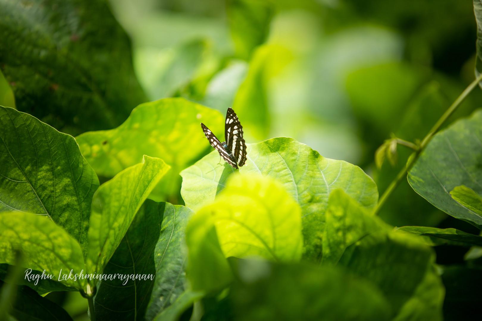 Butterfly_Allapuzha-1.jpg