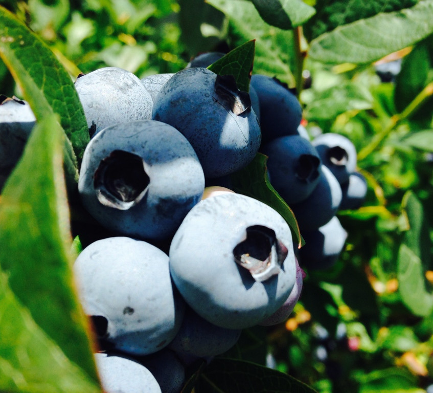 Cultivated Blueberries ex Chile