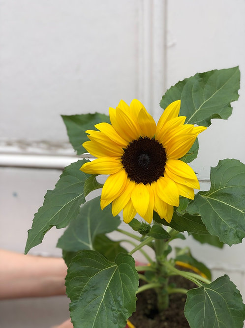 Helianthus 'Sunflower' (Seasonal)