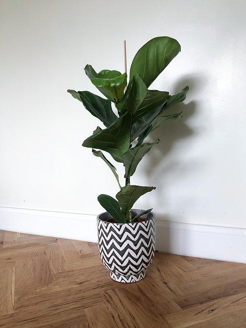 Ficus Lyrata 'Fiddle Leaf Fig' - Large