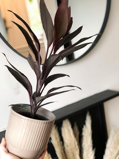 Cordyline Fruticosa 'Tango' - 'Hawaiian Ti Plant'