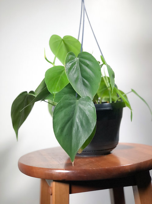 Philodendron Scandens -'Sweetheart Philodendron'