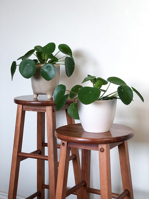 Pilea Peperomoides 'Chinese Money Plant'