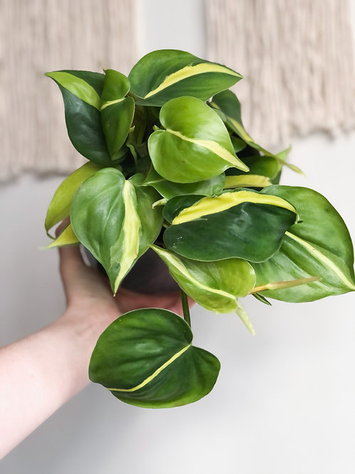Philodendron Scandens 'Brasil' - Sweetheart Plant