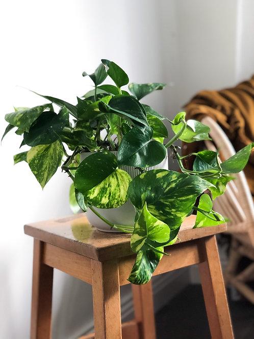 Epipremnum Aureum 'Devil's Ivy'