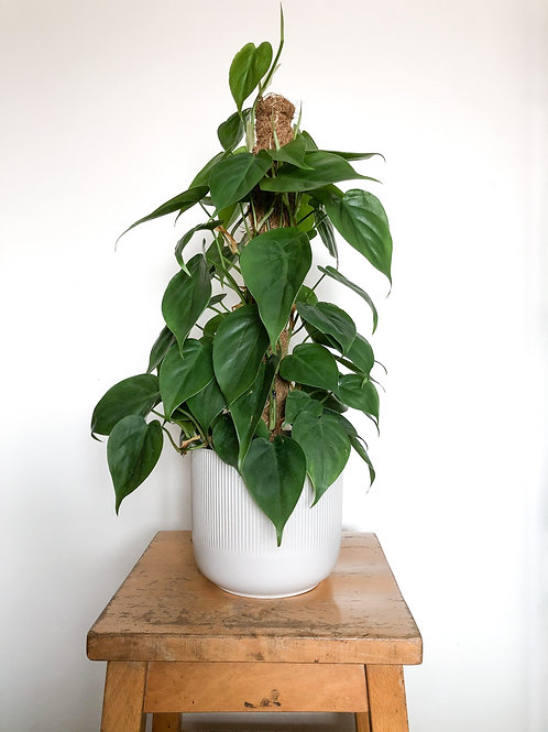 Philodendron Scandens 'Sweetheart Plant'