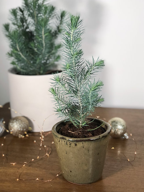 Mini Christmas Tree - Pinus Pinea 'Silver Crest'
