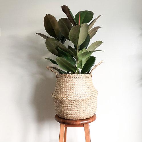 Ficus Elastica Melany 'Rubber Plant'