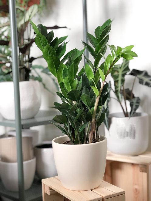 Zamioculcas Zamiifolia 'ZZ Plant'