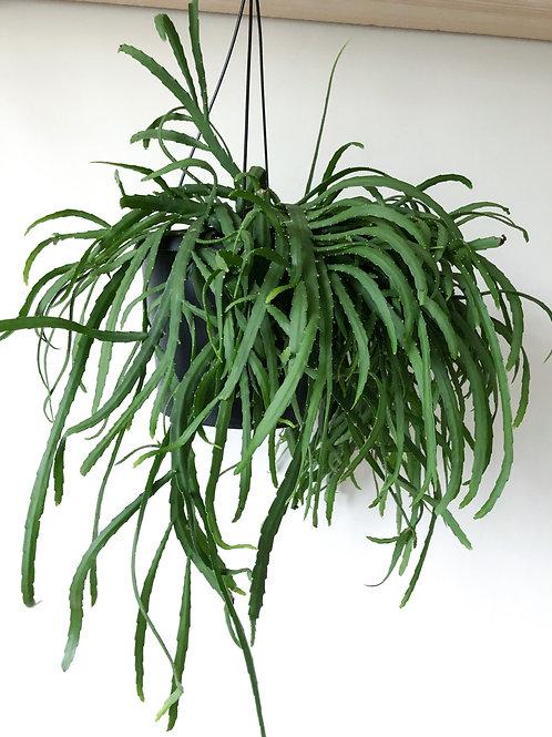 Lepismium Bolivianum 'Forest Cactus'