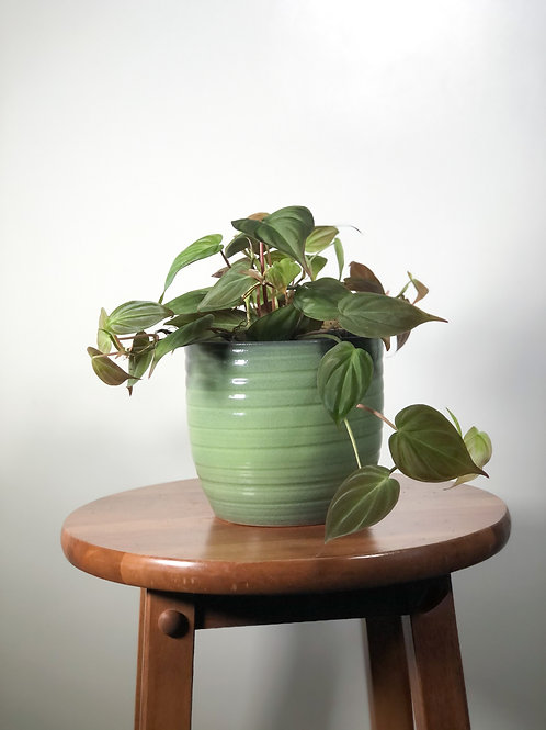 Philodendron Micans - 'Velvet Leaf Philodendron'