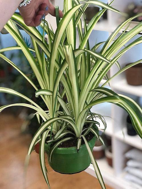 Chlorophytum Vittatum - Spider Plant