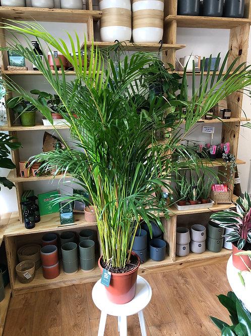 Dypsis Lutescens - Areca Palm