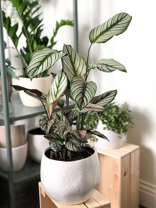 Calathea Whitestar 'Zebra Plant'