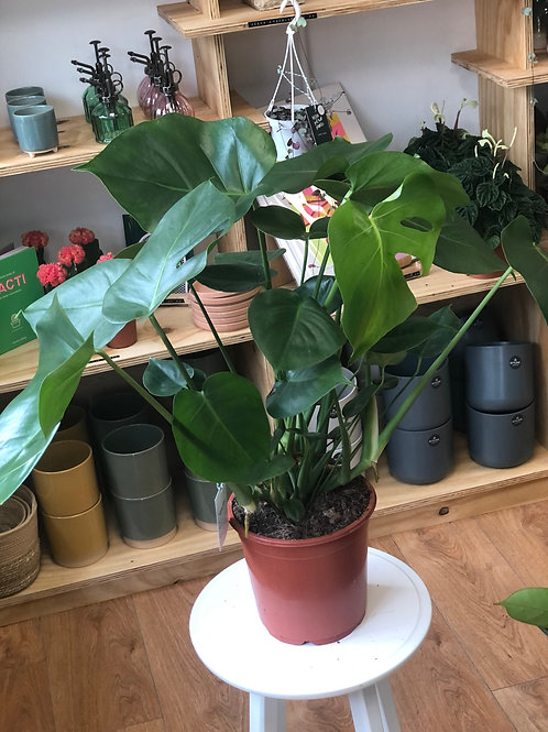 Monstera Deliciosa 'Swiss Cheese Plant' - Large