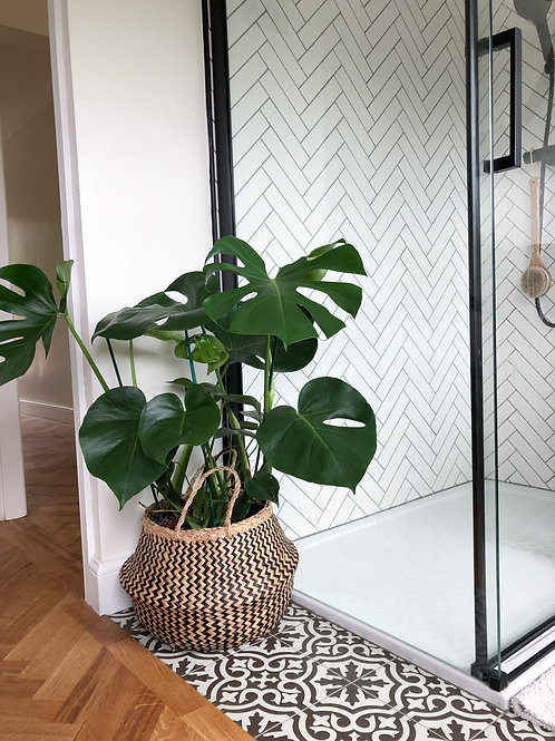Monstera Deliciosa 'Swiss Cheese plant' (Large)