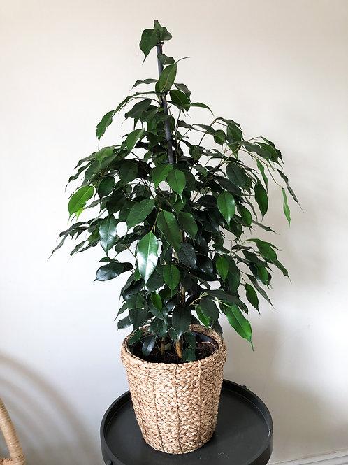 Ficus Benjamina Danielle - Weeping Fig