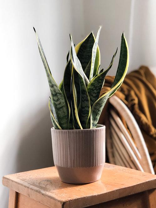 Sansevieria Trifasciata Laurentii - 'Snake Plant'
