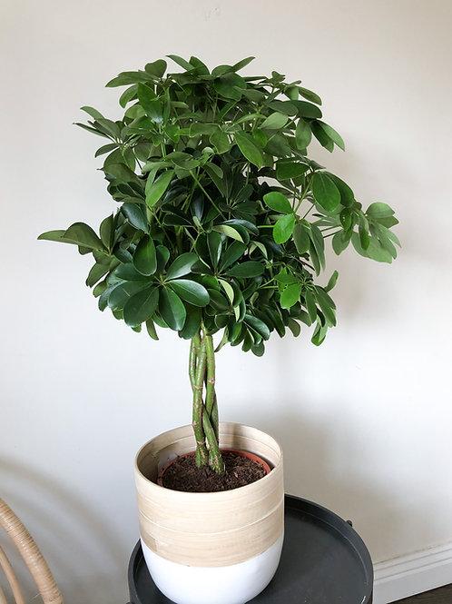 Schefflera Nora 'Umbrella Tree'