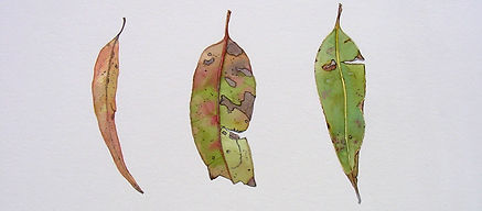 Gum leaves, watercolour on paper