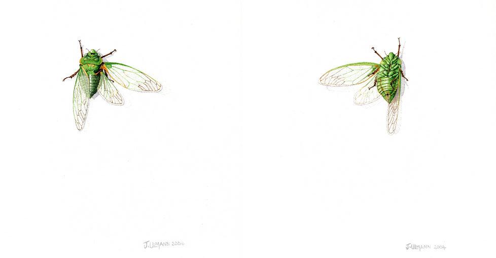 Ulmann Art, Greengrocer cicada