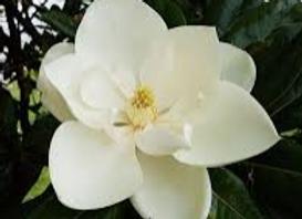 Magnolia 6 pk. Wax Melts