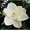 Thumbnail: Magnolia Candle
