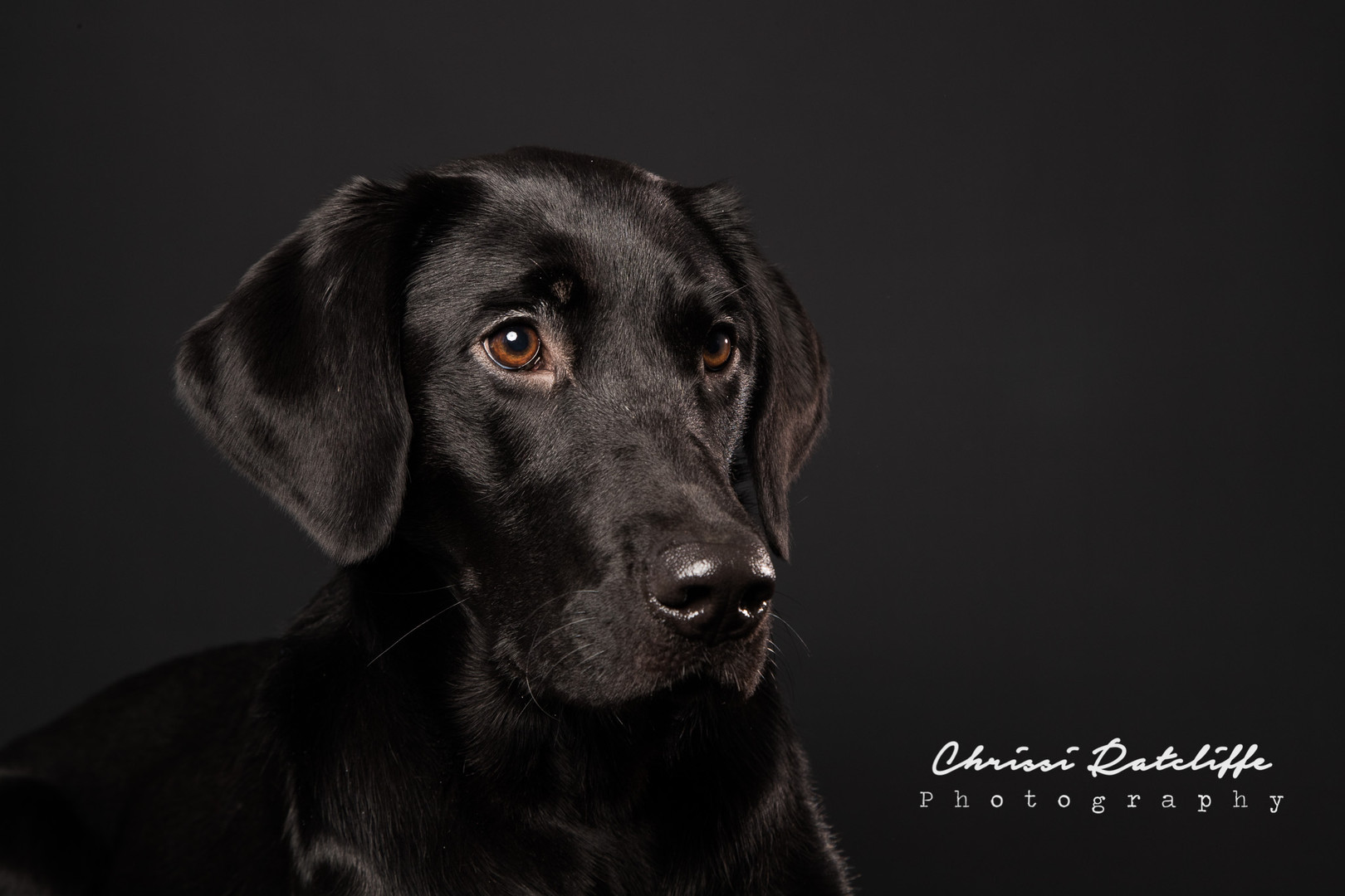 Black Labrador Photo