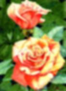 rose.webp