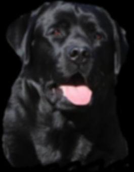 labrador retriever, labrador beeders in Maine,True North Labradors,black,yellow,labrador puppies