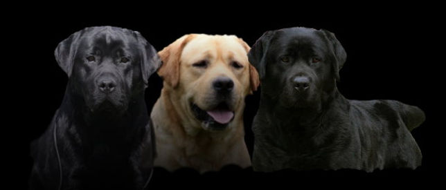 labrador retriever puppies, ny labrador breeders, AKC labradors, black labrador puppies.labrador retriever breeders, new york state labrador , wiscoys jack sparrow, wiscoys tony, wiscoys rocco
