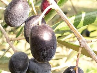 olive noir de chez nous.jpg