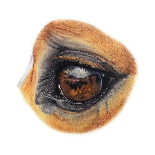 Equine Eye Study