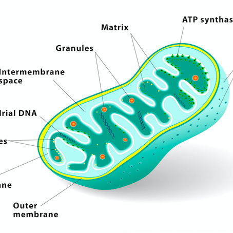 Mitochondria and Fat Loss