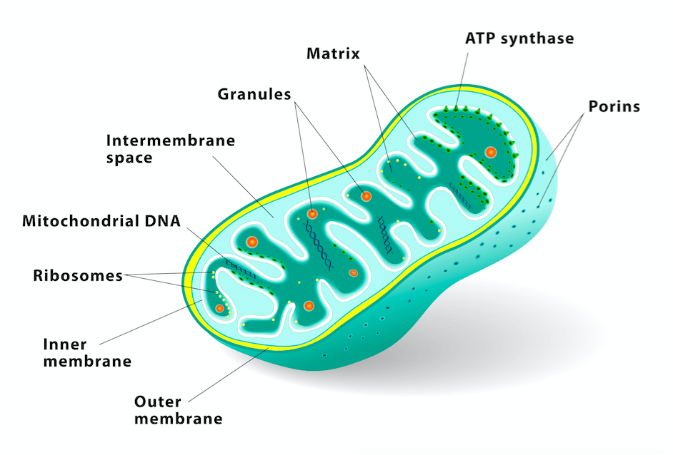 mitochondria, fat loss, mitochondria and fat loss, personal training, personal trainer, online coaching, online personal training, weight loss