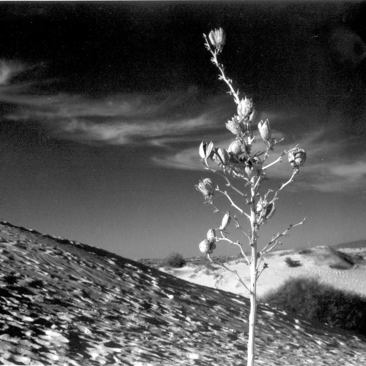 Yucca, White Sands, NM